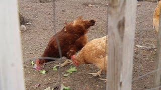 Brooklyn Center Considers Whether to Allow Raising Chickens