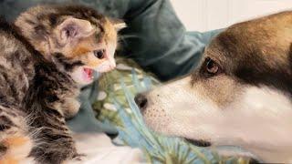 My Kitten Meets Wolf