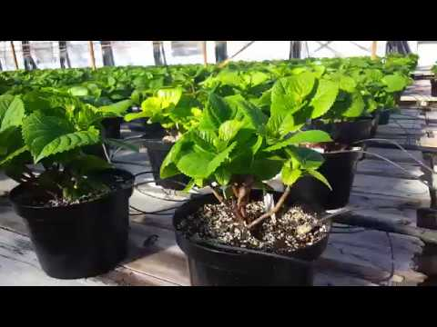 Beautiful Green Hydrangeas