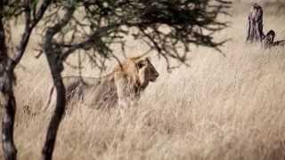 Travelationship A Wandering Lion In Serengeti National Park mp3