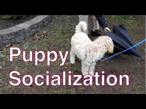 How to Socialize a Puppy to New Objects-Creating a 'Bombproof' Service Dog