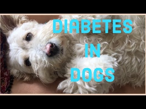Diabetes in dogs  - Symptoms - my dog developed diabetes