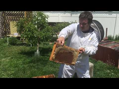 Honey bees:  How to catch a swarm