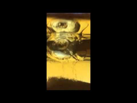 Piece of ice melting in Single Malt Scotch
