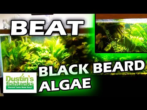 How to Beat & Control Black Beard Algae in Planted Tanks: Controlling Algae