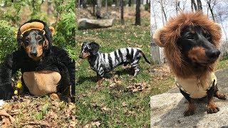 Wiener Dog Animals of the Earth! (Tik Tok Video)