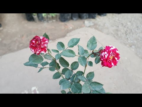 How To Grow Two Color Roses - Tiger Rose !!