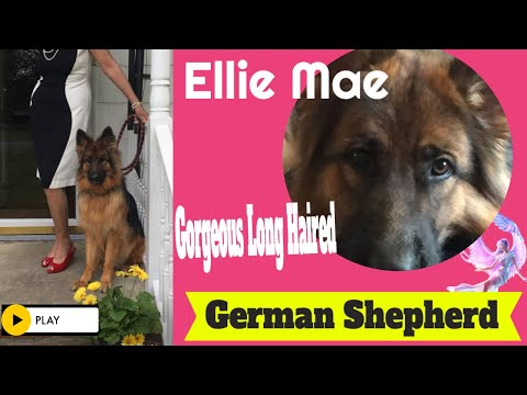 German Shepherd Ellie: Board and Train~Wilmington, NC