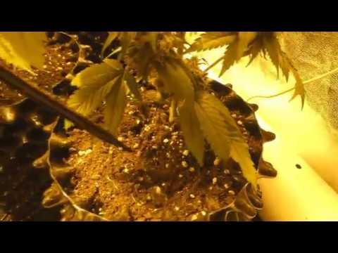 Growbox : Pflanzen Bewässern