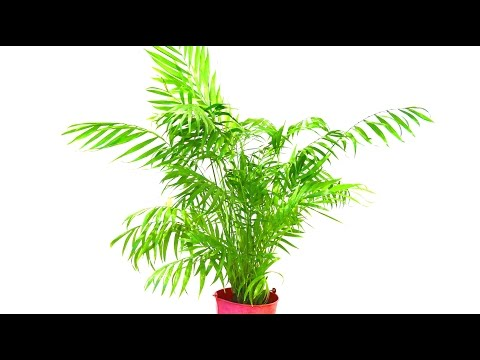 How To Tidy Up A Parlour Palm
