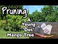 Pruning a Young 'Dot' Mango Tree