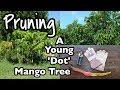 Pruning a Young 'Dot' Mango Tree