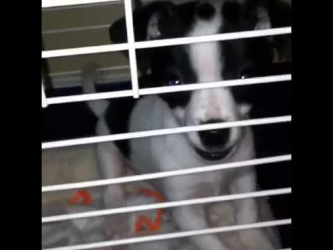 My dog barking at me for not taking him out of his cage have to watch sooo cute
