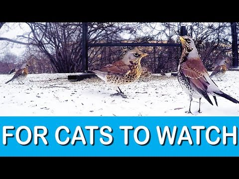 Videos for Cats to Watch: Winter Birds in Sweden