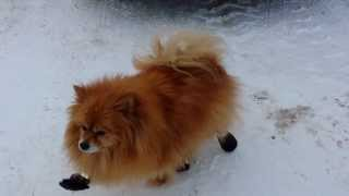 Boots Were Made for Walkin - FUNNY DOG...Pomeranian in the SNOW