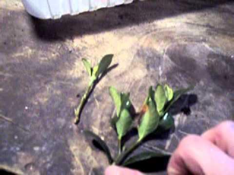 How to Propagate: Gardenia bush cuttings