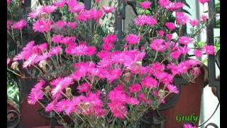 Le mie piantine grasse - Piante Succulente - Il Guardiano del Faro
