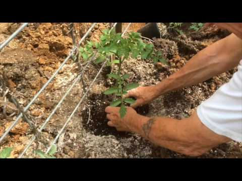 TOMATOES - GROWING STEP BY STEP [HOW TO DO IT]  (OAG 2017)