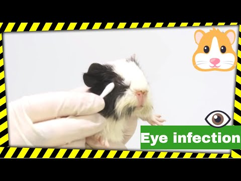 GUINEA PIGS - Clean their eyes. How to treat eye infections on guinea pigs?