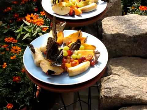 Butterflies feasting on rotten fruit