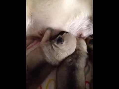 keetarose pug puppies feeding time