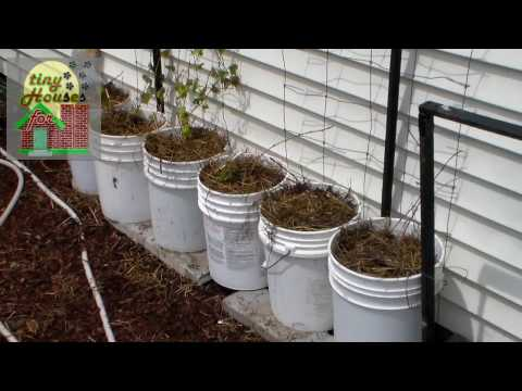 How to Grow Sweet Potato Vines & Slips in Containers or Pots