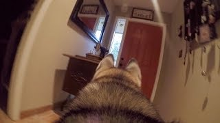 What Does My Husky Do When Home Alone? *GoPro Spy Footage*