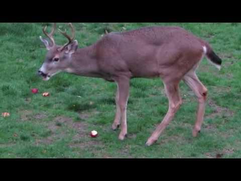 10/30/15 RHM Black-Tailed Buck & Doe (Mating Season) Renton, Wa