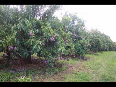 The new mango variety - Bundy Special