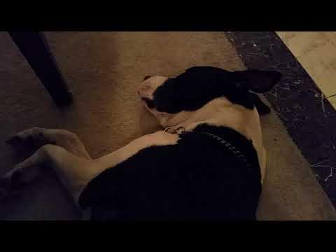 Dog barking while dreaming