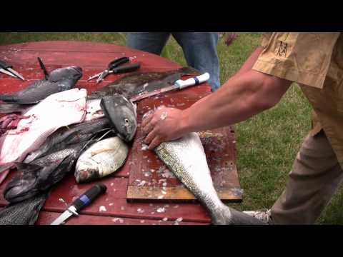 How to Steak Bluefish - Bluefish Filleting and Cleaning