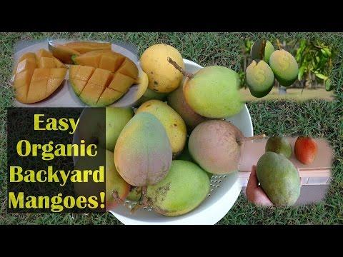 Growing Mangoes Organically No Spraying Needed!