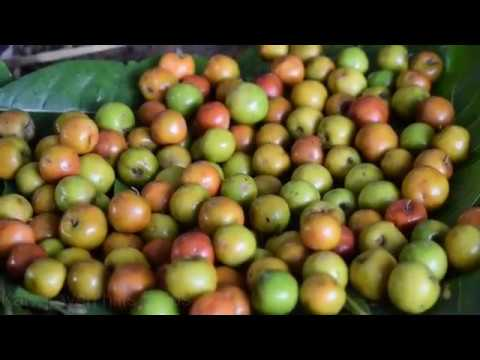 Lot of jujube fruit harvesting in my native village | elantha pazham