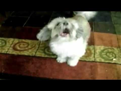 Cody - Dog screaming like a man - Slayer Dog
