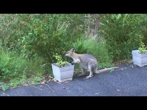 Kangaroo using his/her hands to eat plants in my yard