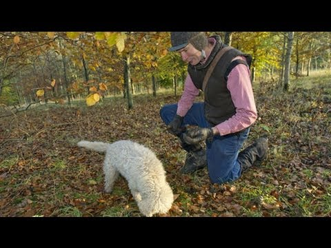 Truffle hunting in England?