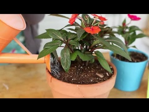 How to Keep Impatiens Alive Indoors Through the Winter? : Indoor Planting