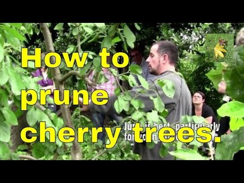 Pruning cherry trees properly and correctly - youtube video uk - summer