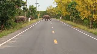 Spectacular moment more than 100 wild elephants cross road