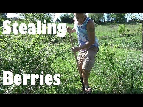 Stealing Wild Raspberries