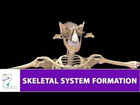 SKELETAL SYSTEM FORMATION