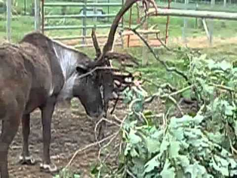 Cleaning Antlers