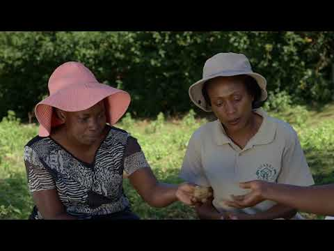 Shamba Shape Up Sn 08 - Ep 09 Broiler Chicken, Potatoes, Cabbages (Swahili)