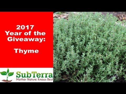 Thyme - Food, Medicine and Beneficial Insects! ** Giveaway video **
