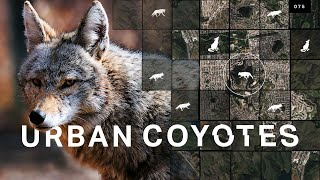 Why urban coyote sightings are on the rise