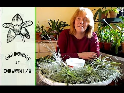 Easy Airplant Care - tillandsia light, water, flowers & propagation