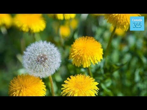 Dandelion and why it is good for your liver - Canada 365