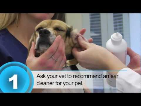 Ear Wax Cleaning for Your Dog - CaerVision Vet Network