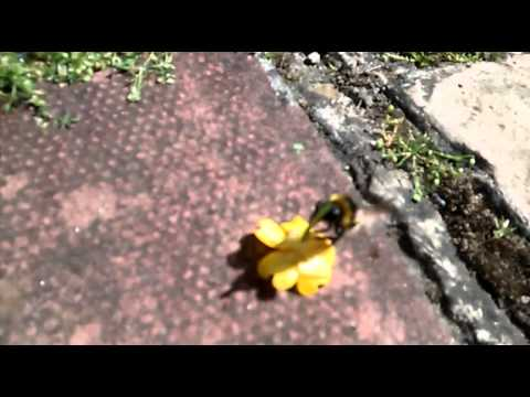 A injured bee that loves pollen!