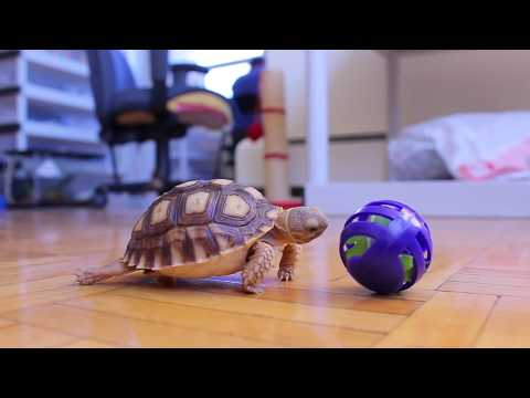 angus the baby sulcata tortoise eating a treat